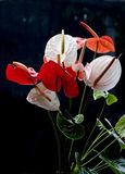 Anthurium Red and White on Isolate. Anthurium  on isolate, Black background, Lighting is Backlight.Shape like Heart Royalty Free Stock Image
