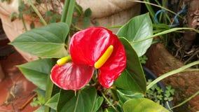 Anthurium rośliny Obrazy Royalty Free