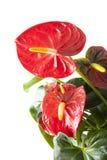 Anthurium rojo Foto de archivo libre de regalías