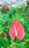Anthurium rojo también conocido como tailflower, la flor de flamenco y cordón Fotografía de archivo libre de regalías