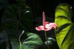 Anthurium rosado exótico con las hojas verdes lujosas Imagen de archivo libre de regalías