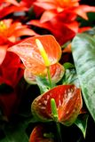 Anthurium sp. - favourite ornamental indoor plant Royalty Free Stock Photography