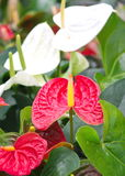 Anthurium or Spadix Flower Stock Images