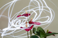 Anthurium light firefly effect flower  Royalty Free Stock Photo