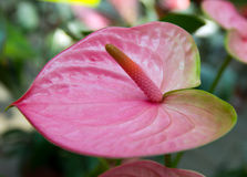 Anthurium Royalty Free Stock Image
