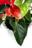 Anthurium on white Stock Photos