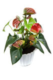 Anthurium on white background Royalty Free Stock Image
