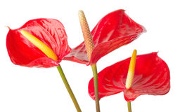 Anthurium  on a white background Royalty Free Stock Image