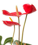 Anthurium  on white background Royalty Free Stock Photos