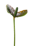 Anthurium on white close up Royalty Free Stock Photos
