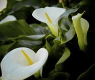 Anthurium white flowers. Two full one budding anthurium flowers Royalty Free Stock Photography