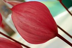 Anthurium Xavia Στοκ Εικόνες