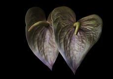 Anthurium złoty kwiat Obrazy Royalty Free