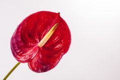 Anthuriumblad som isoleras på vit Royaltyfri Foto