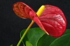 Anthuriumbloem met rode bloemblaadjes en groene bladeren Royalty-vrije Stock Foto's
