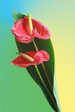 anthuriumen blommar nytt Arkivfoto