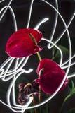 Anthuriums Στοκ εικόνα με δικαίωμα ελεύθερης χρήσης