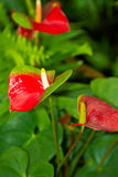 Anthuriums. Also called tail flower, flamingo flower or laceleaf are species of flowering plants with tail-like flower spikes and heart-shaped leaves royalty free stock photo