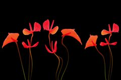 Anthuriums on black Royalty Free Stock Photography
