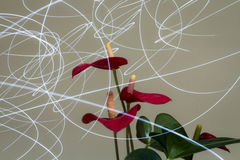 Anthurium flowers Lights Vectors. Anthuriums Are Visited By A Beautiful Light Royalty Free Stock Photography