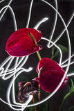 Anthuriums Night Light Red Royalty Free Stock Image