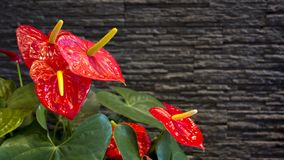 Anthuriums: The red, heart-shaped flower of Anthuriums royalty free stock photography