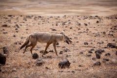 Anthus dourado africano do Canis do lobo foto de stock