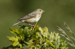 anthus pipit drzewa trivialis Obrazy Stock