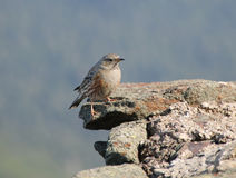Anthus pratensis. Meadow pipit on the peak of Sniezka (1602m Royalty Free Stock Images