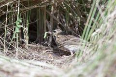 Anthustrivialis Het nest van de Boom Pipit in aard Royalty-vrije Stock Afbeelding