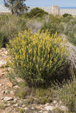 Anthyllis cytisoides Royalty Free Stock Image