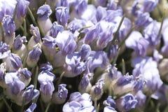 Anthyllis de Erinacea fotografiado cerca para arriba en primavera Fotografía de archivo libre de regalías