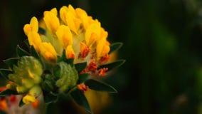 Anthyllis vulneraria stock footage