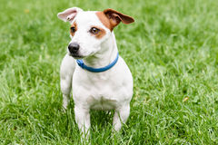 Anti collare blu della pulce e del segno di spunta sul cane sveglio Fotografia Stock