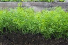 Anti-oxyderende keukenkruiden op het de tuinbed van het ecolandbouwbedrijf Selectieve zachte nadruk Foto van dilleoogst voor de z Stock Afbeelding