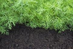 Anti-oxyderende keukenkruiden op het de tuinbed van het ecolandbouwbedrijf Selectieve zachte nadruk Foto van dilleoogst voor de z Stock Afbeeldingen