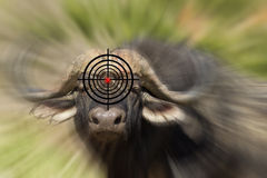 Anti poaching buffalo concept. Anti poaching concept of a target on a water buffalo's head in africa Royalty Free Stock Photography