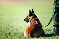 Anti poaching dog and handler. Dog highly focused during training session. Highly energetic and help to combat wildlife crimes royalty free stock images