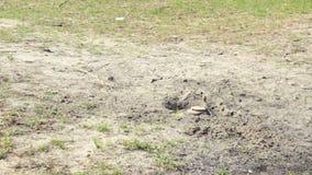 Anti-tank mine installing and detonating. Anti-tank mines at sand installing and detonating by soldier stock video footage