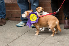 Anti UKIP sausage dogs with rosette. Anti UKIP dogs wearing a UKIP out ! rosette Royalty Free Stock Photos