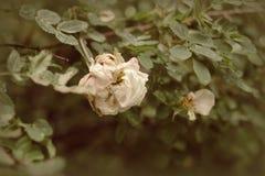 Antic άσπρα τριαντάφυλλα κήπων Στοκ Φωτογραφίες