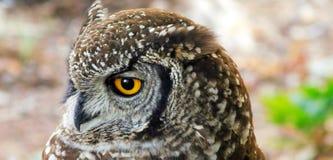 In anticipo foto della testa di capo Eagle Owl Immagine Stock