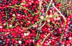 Antidesma των τροπικών φρούτων Στοκ Εικόνες