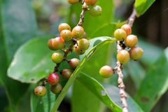 Antidesma puncticulatum Miq Mamao & x28; 泰国name& x29; 免版税库存图片