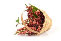 Antidesma thwaitesianum Muell.Arg., Ma-mao (thai name) Royalty Free Stock Images