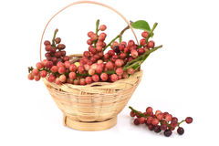 Antidesma thwaitesianum Muell.Arg., Ma-mao (thai name) Royalty Free Stock Photography