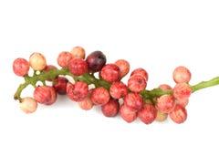 Antidesma thwaitesianum Muell.Arg., Ma-mao (thai name) Stock Photos
