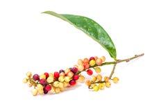 Antidesma-velutinosum Blume-Frucht auf weißem Hintergrund Lizenzfreie Stockbilder