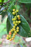 Antidesma velutinosum Blume Stock Image