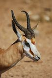 antidorcas marsupialis antylopa Zdjęcie Stock